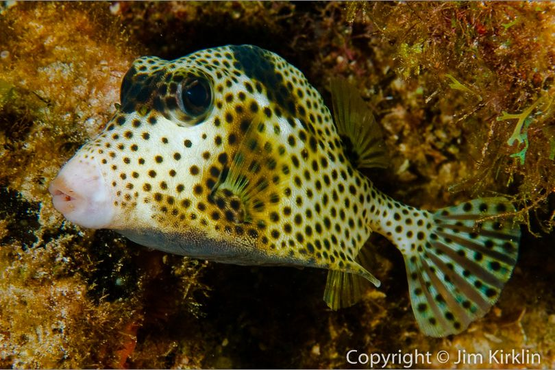 Spotted Trunkfish #1