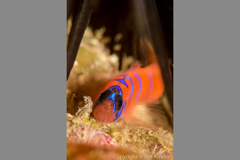Blue Banded Goby #2