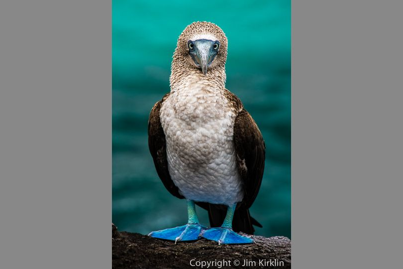 Blue-Footed Booby #1