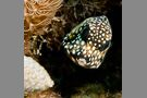 Smooth Trunkfish #1