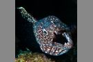 Spotted Moray Eel #2