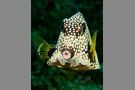 Smooth Trunkfish #3