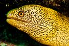 Goldentail Moray Eel #1